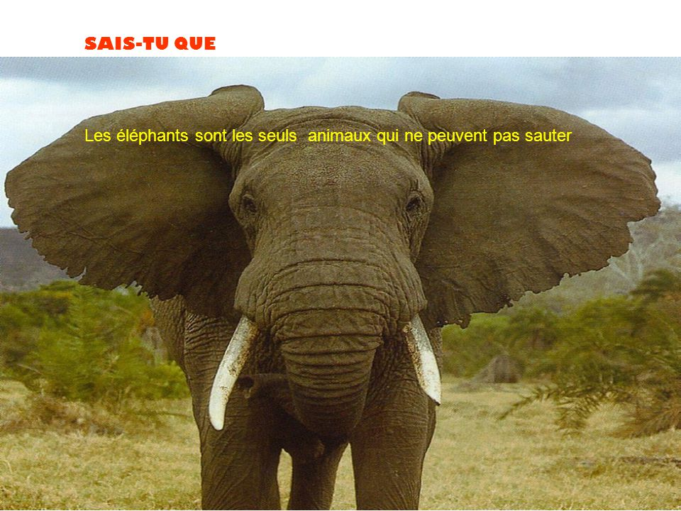 SAIS-TU QUE Les éléphants sont les seuls animaux qui ne peuvent pas sauter