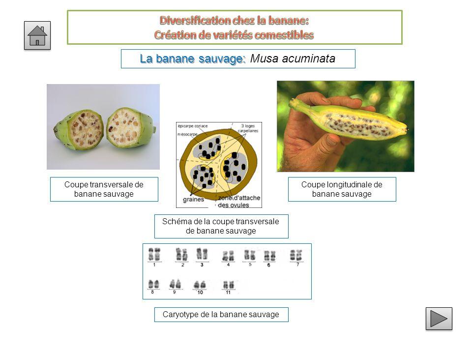 La banane sauvage: La banane sauvage: Musa acuminata Coupe transversale de banane sauvage Coupe longitudinale de banane sauvage Schéma de la coupe transversale de banane sauvage Caryotype de la banane sauvage
