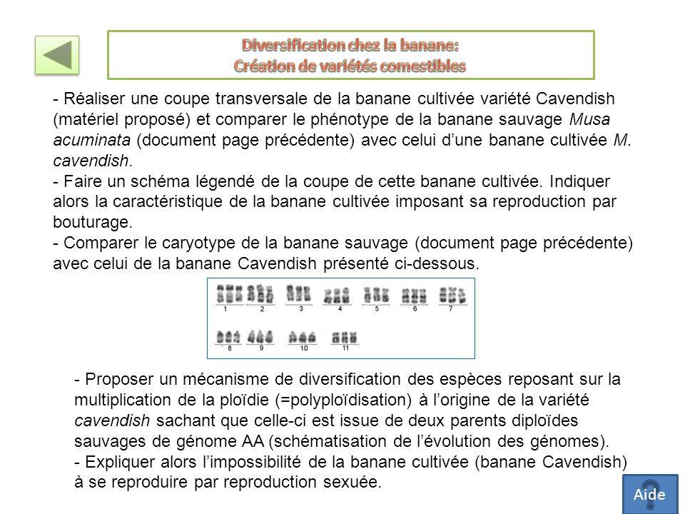 - Réaliser une coupe transversale de la banane cultivée variété Cavendish (matériel proposé) et comparer le phénotype de la banane sauvage Musa acuminata (document page précédente) avec celui d'une banane cultivée M.