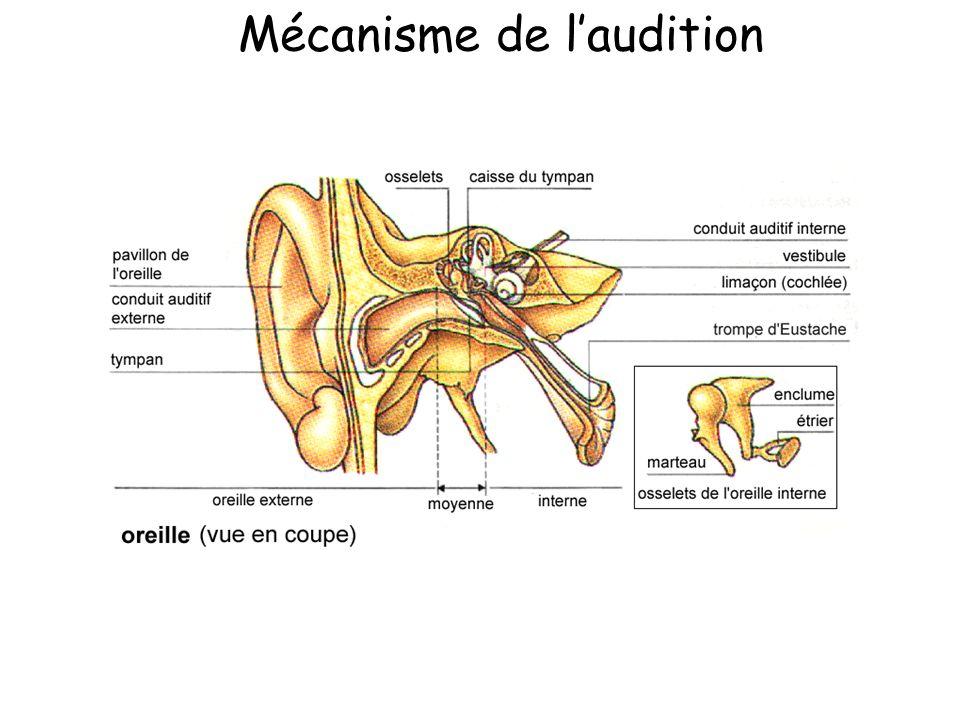 Mécanisme de l'audition