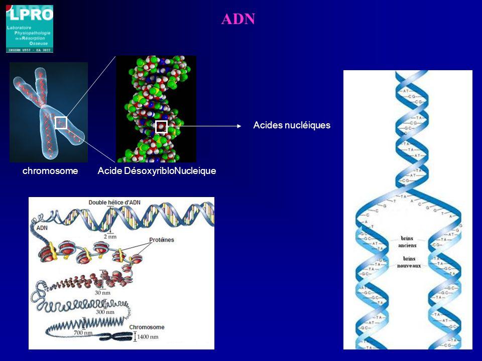 ADN chromosomeAcide DésoxyribloNucleique Acides nucléiques