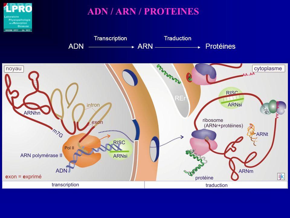 ADN / ARN / PROTEINES ADN ARN Protéines Transcription Traduction