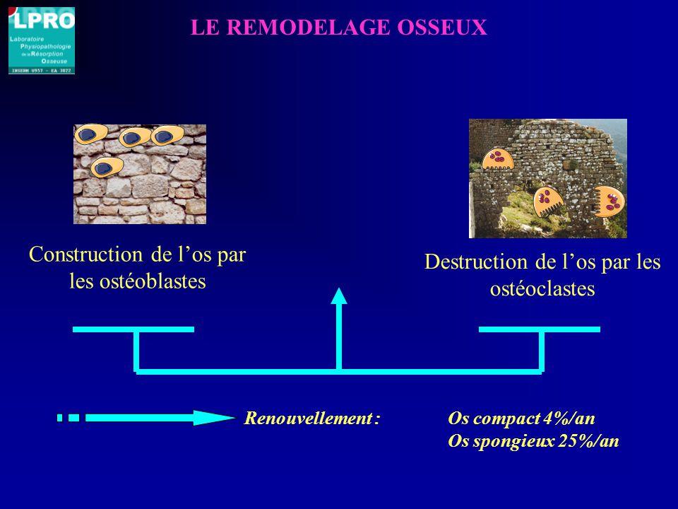 Destruction de l'os par les ostéoclastes Construction de l'os par les ostéoblastes LE REMODELAGE OSSEUX Renouvellement : Os compact 4%/an Os spongieux 25%/an