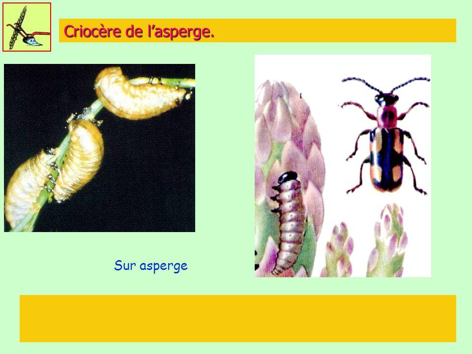 Criocère de l'asperge. Sur asperge