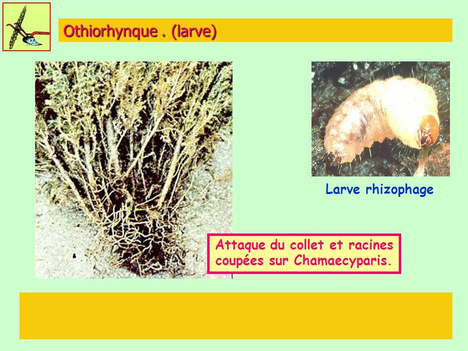 Othiorhynque. (larve) Larve rhizophage Attaque du collet et racines coupées sur Chamaecyparis.