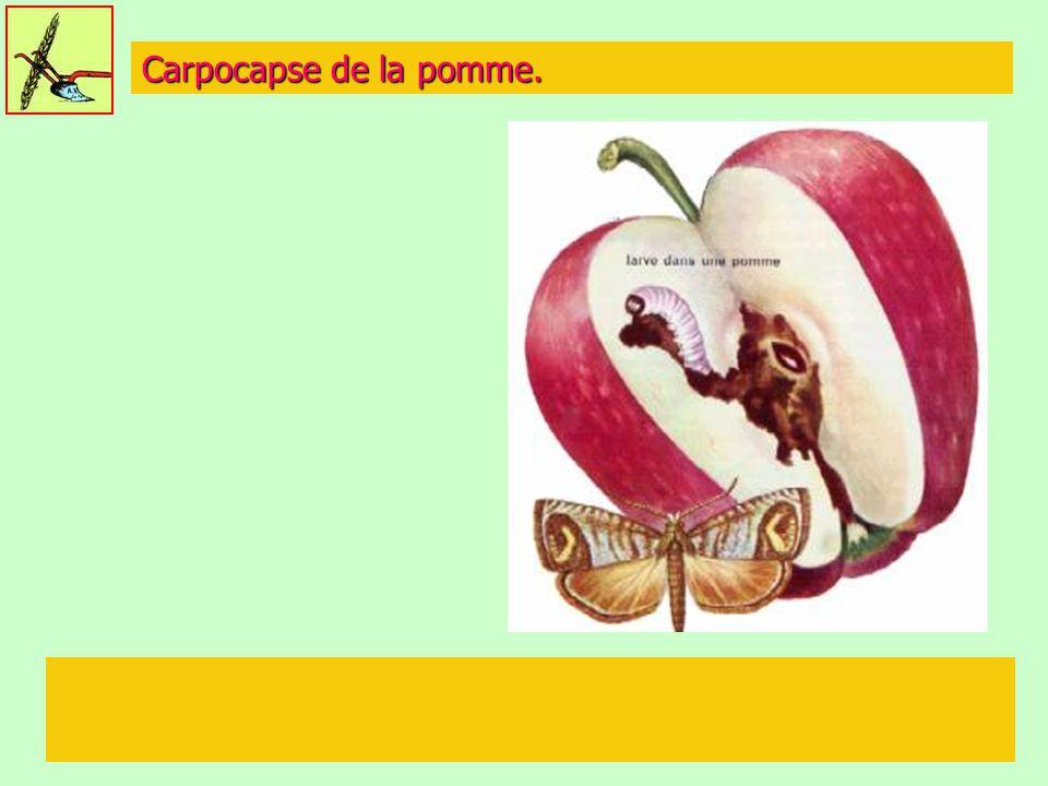 Carpocapse de la pomme.