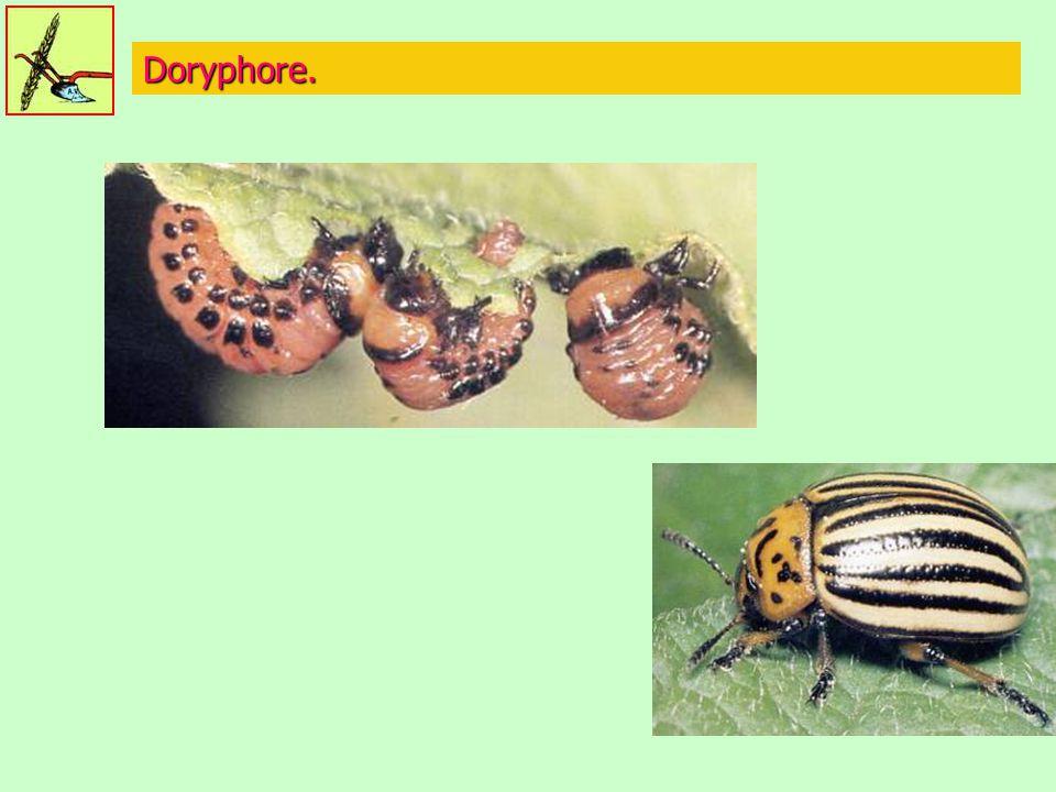 Doryphore.