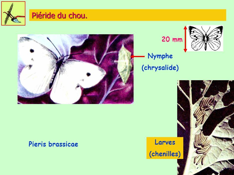 Piéride du chou. Nymphe (chrysalide) 20 mm Larves (chenilles) Pieris brassicae