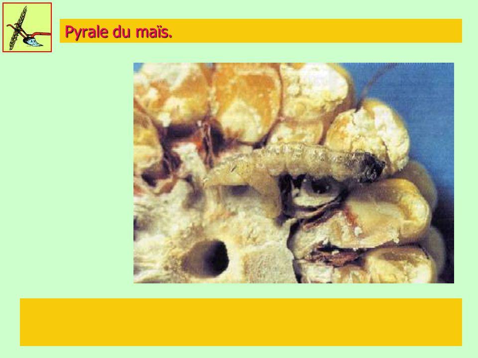 Pyrale du maïs.