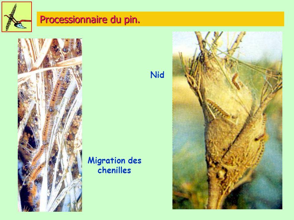 Processionnaire du pin. Nid Migration des chenilles