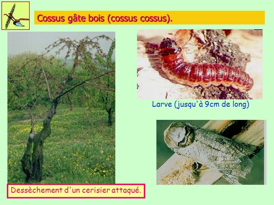 Cossus gâte bois (cossus cossus). Dessèchement d'un cerisier attaqué. Larve (jusqu'à 9cm de long)