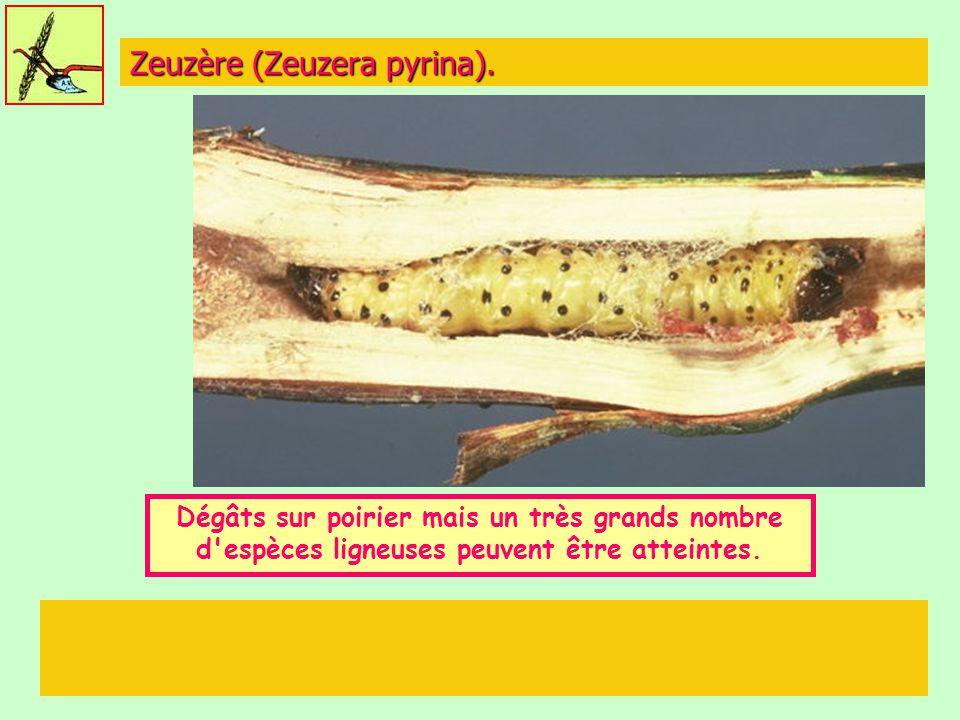 Zeuzère (Zeuzera pyrina). Dégâts sur poirier mais un très grands nombre d'espèces ligneuses peuvent être atteintes. 5 à 6 cm
