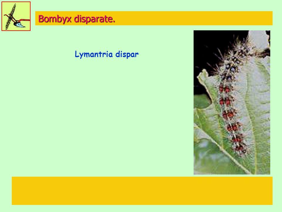 Bombyx disparate. Lymantria dispar