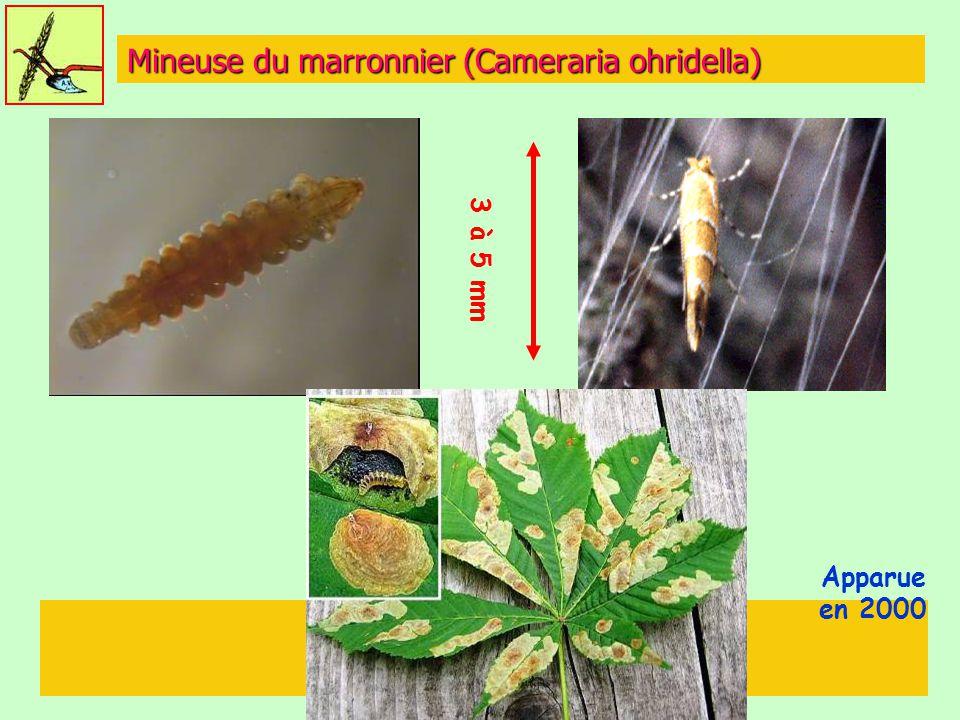 Mineuse du marronnier (Cameraria ohridella) Apparue en 2000 3 à 5 mm
