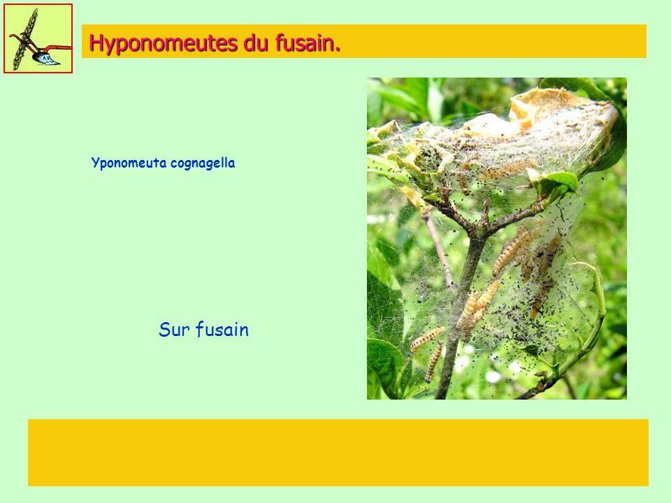 Hyponomeutes du fusain. Yponomeuta cognagella Sur fusain