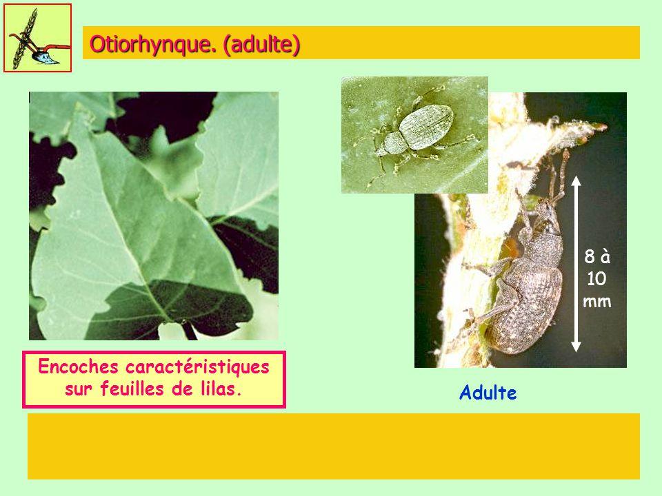 Otiorhynque. (adulte) Adulte Encoches caractéristiques sur feuilles de lilas. 8 à 10 mm
