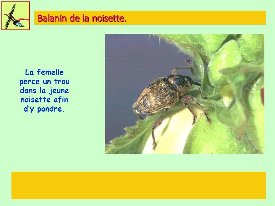 Balanin de la noisette. La femelle perce un trou dans la jeune noisette afin d'y pondre.