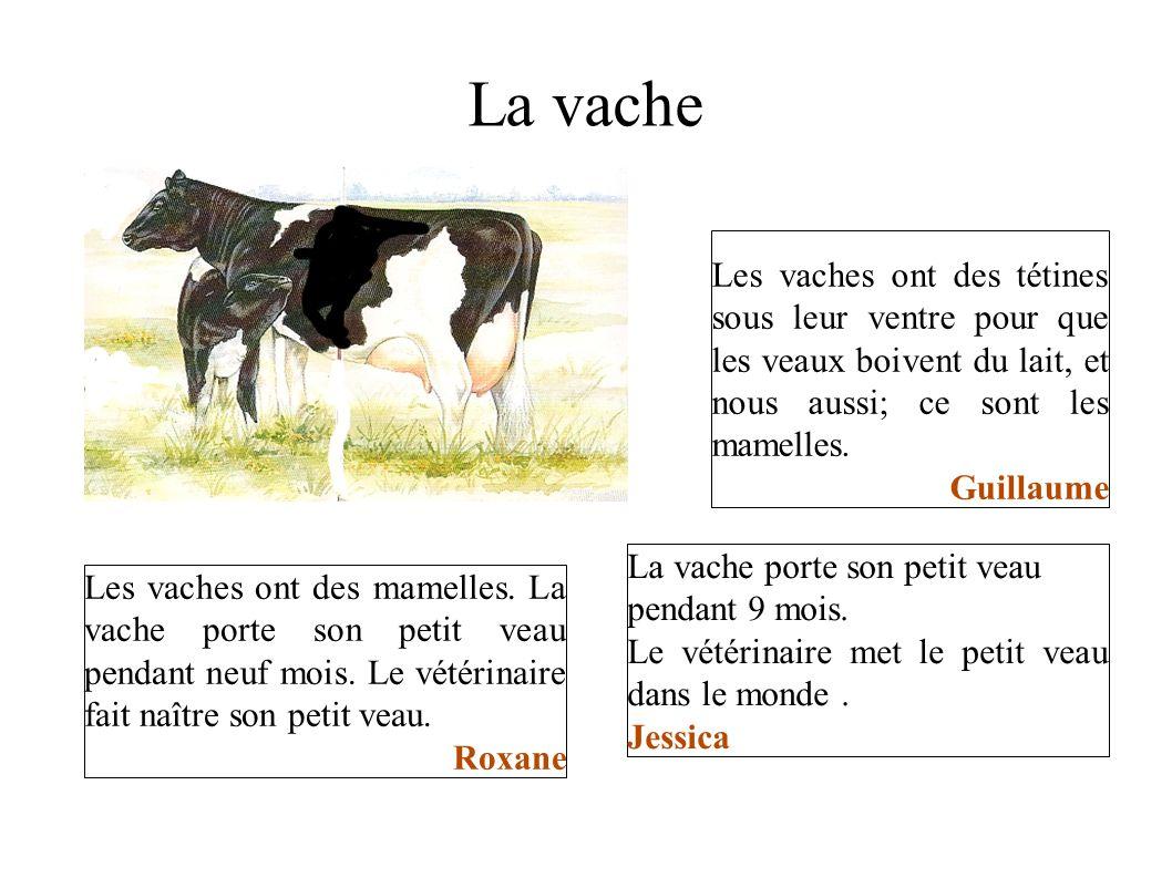 La vache Les vaches ont des tétines sous leur ventre pour que les veaux boivent du lait, et nous aussi; ce sont les mamelles. Guillaume Les vaches ont