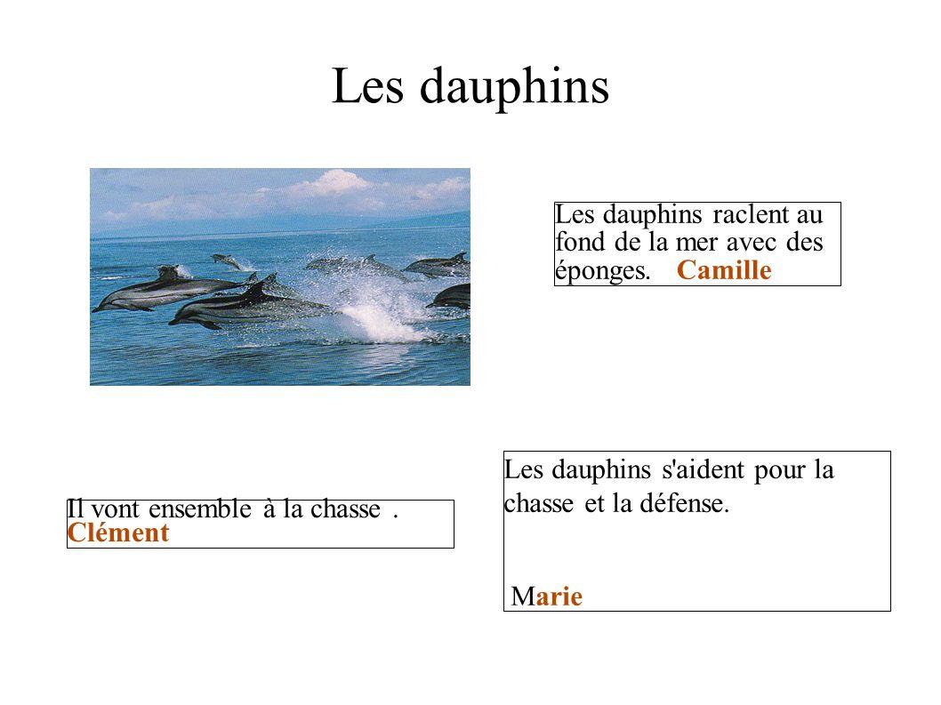 Les dauphins Les dauphins raclent au fond de la mer avec des éponges. Camille Il vont ensemble à la chasse. Clément Les dauphins s'aident pour la chas