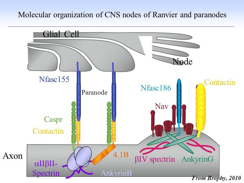Unmyelinated Myelinated Myelination favoured if diameter > 1 micron