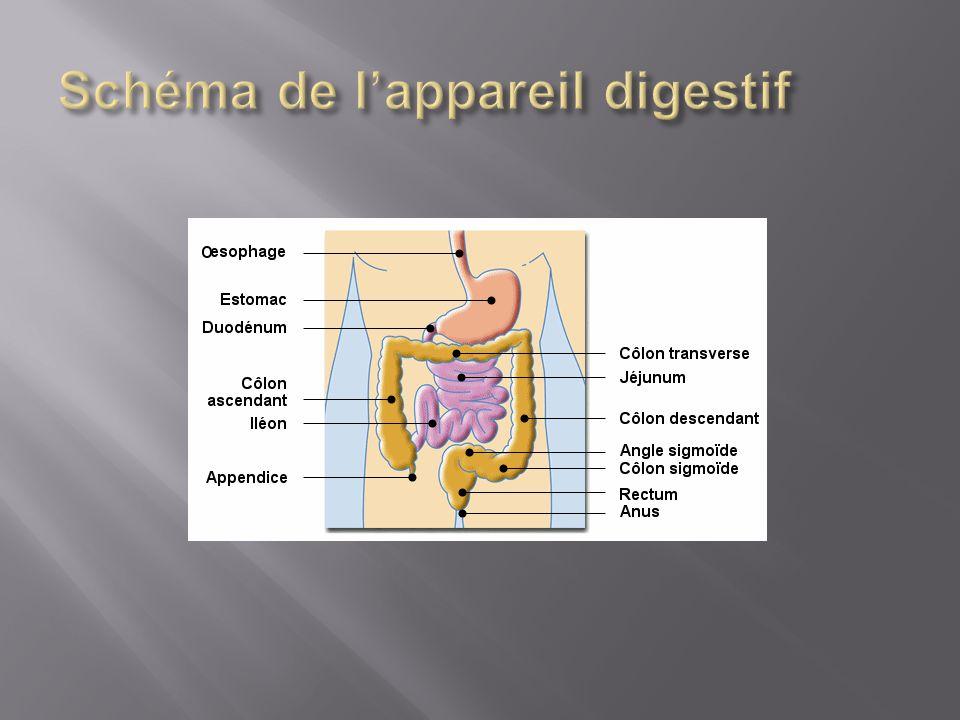  Une stomie digestive est une intervention chirurgicale qui a pour but d'aboucher une partie de l'intestin à la peau de l'abdomen.