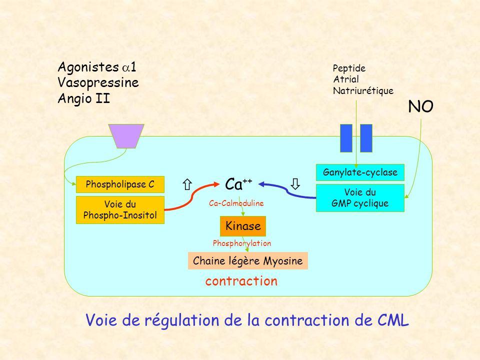 Agonistes  1 Vasopressine Angio II Ca ++ Kinase Phospholipase C Voie du Phospho-Inositol Ganylate-cyclase Voie du GMP cyclique Chaine légère Myosine