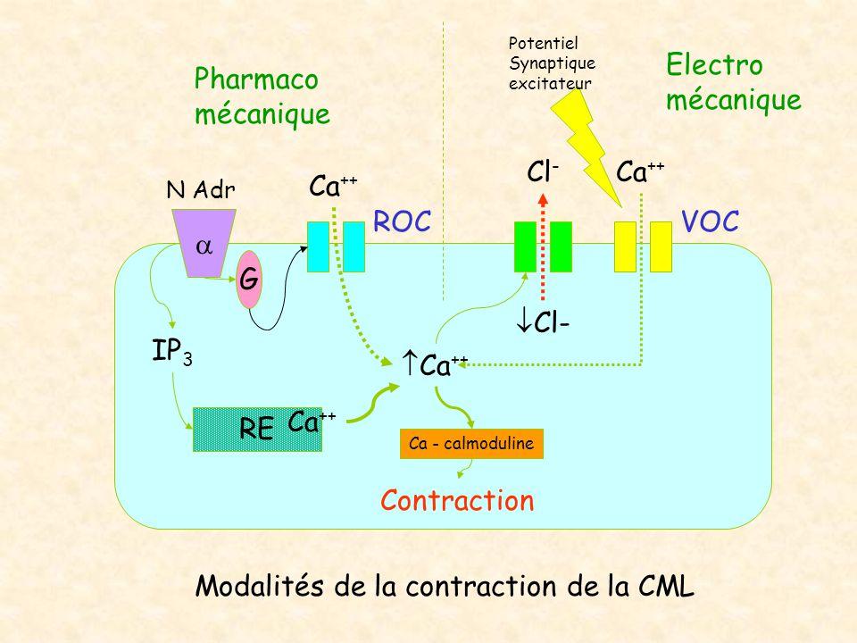  N Adr Ca ++ IP 3  Ca ++ Ca - calmoduline G RE Ca ++  Cl- Cl - ROC Ca ++ VOC Pharmaco mécanique Potentiel Synaptique excitateur Contraction Electro