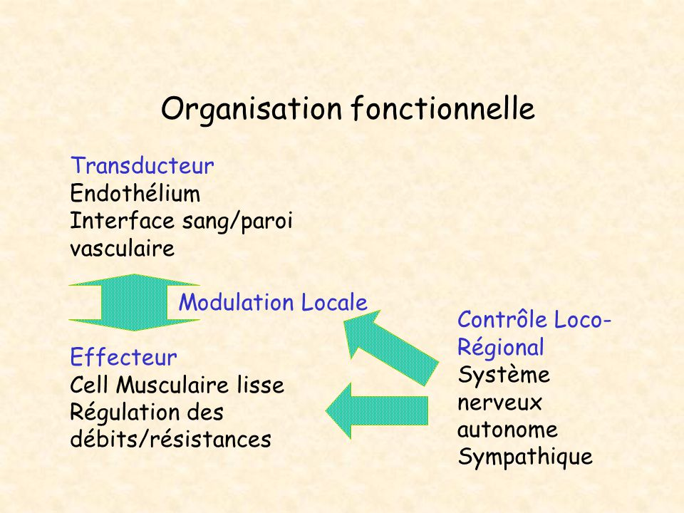 Organisation fonctionnelle Transducteur Endothélium Interface sang/paroi vasculaire Effecteur Cell Musculaire lisse Régulation des débits/résistances