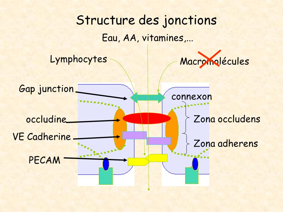 Structure des jonctions Zona occludens Zona adherens connexon PECAM Macromolécules VE Cadherine Gap junction occludine Lymphocytes Eau, AA, vitamines,...