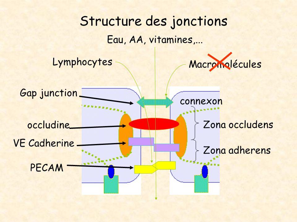 Structure de l endothélium Glycocalyx surface luminale couche chargée négativement Pr - et sucres(héparane sulfate) filtre pour les protéines du plasma –  glucose –albumine Caveolae et vésicules de transport Membrane Basale –filtre sélectif