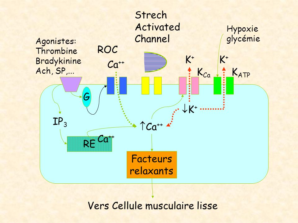 Agonistes: Thrombine Bradykinine Ach, SP,... Ca ++ IP 3 Strech Activated Channel  Ca ++ Facteurs relaxants K Ca G RE Ca ++ K+K+ K+K+ ROC K ATP Hypo