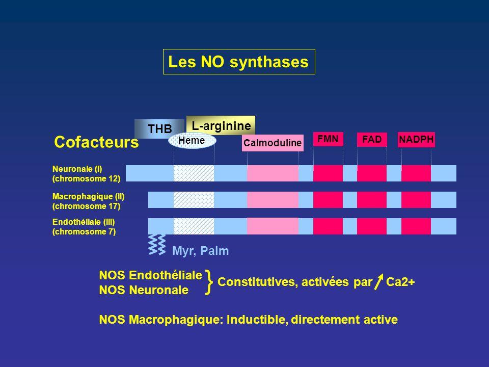 Les NO synthases Myr, Palm L-arginine Neuronale (I) (chromosome 12) Macrophagique (II) (chromosome 17) Endothéliale (III) (chromosome 7) FMN FAD Cofac