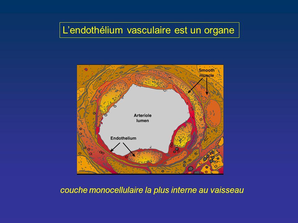 L'endothélium vasculaire est un organe couche monocellulaire la plus interne au vaisseau