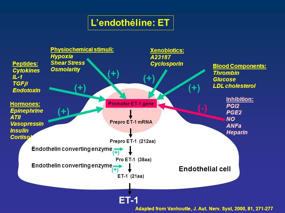 L'endothéline: ET Promotor ET-1 gene Prepro ET-1 mRNA Prepro ET-1 (212aa) Pro ET-1 (38aa) ET-1 (21aa) Endothelial cell ET-1 Adapted from Vanhoutte, J.