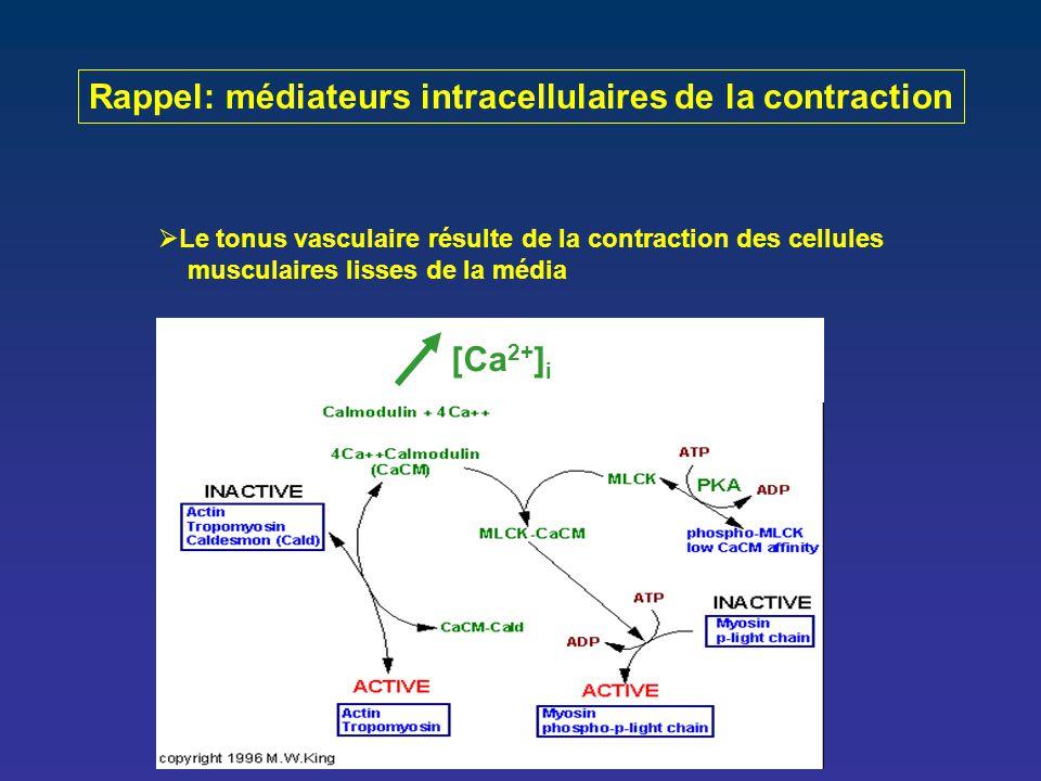 Rappel: médiateurs intracellulaires de la contraction  Le tonus vasculaire résulte de la contraction des cellules musculaires lisses de la média  La