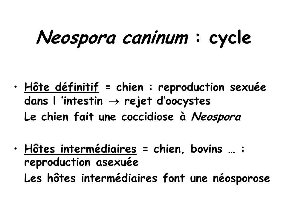 Neospora caninum : cycle Hôte définitif = chien : reproduction sexuée dans l 'intestin  rejet d'oocystes Le chien fait une coccidiose à Neospora Hôtes intermédiaires = chien, bovins … : reproduction asexuée Les hôtes intermédiaires font une néosporose