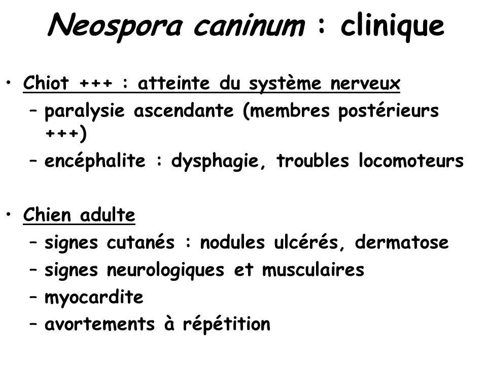 Neospora caninum : clinique Chiot +++ : atteinte du système nerveux –paralysie ascendante (membres postérieurs +++) –encéphalite : dysphagie, troubles locomoteurs Chien adulte –signes cutanés : nodules ulcérés, dermatose –signes neurologiques et musculaires –myocardite –avortements à répétition