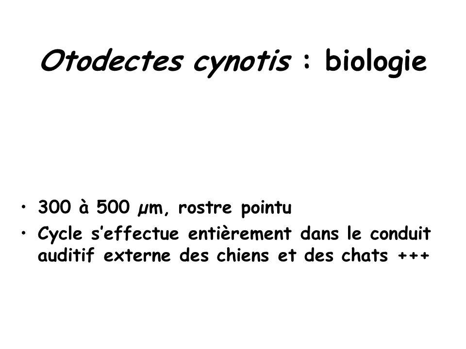 Otodectes cynotis : biologie 300 à 500 µm, rostre pointu Cycle s'effectue entièrement dans le conduit auditif externe des chiens et des chats +++