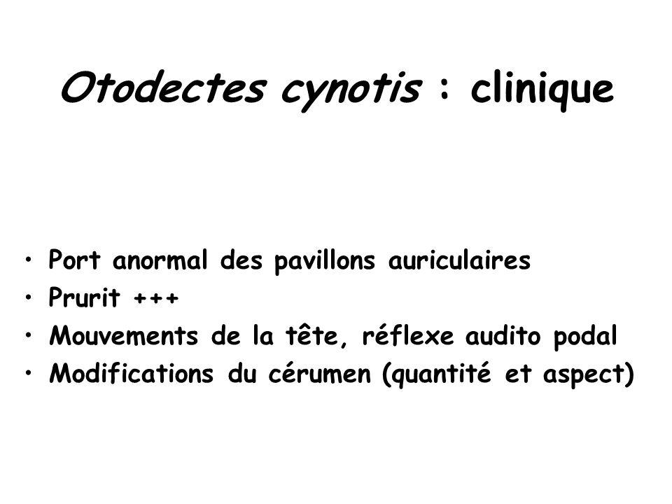 Otodectes cynotis : clinique Port anormal des pavillons auriculaires Prurit +++ Mouvements de la tête, réflexe audito podal Modifications du cérumen (quantité et aspect)