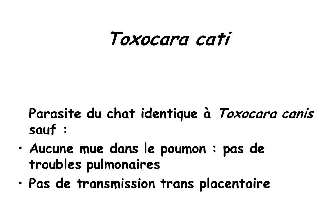 Toxocara cati Parasite du chat identique à Toxocara canis sauf : Aucune mue dans le poumon : pas de troubles pulmonaires Pas de transmission trans pla