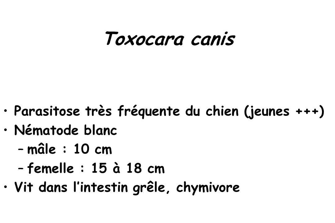 Toxocara canis Parasitose très fréquente du chien (jeunes +++) Nématode blanc –mâle : 10 cm –femelle : 15 à 18 cm Vit dans l'intestin grêle, chymivore