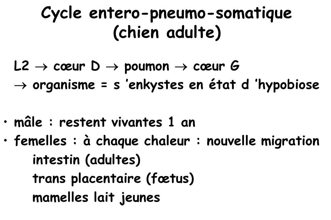 Cycle entero-pneumo-somatique (chien adulte) L2  cœur D  poumon  cœur G  organisme = s 'enkystes en état d 'hypobiose mâle : restent vivantes 1 an