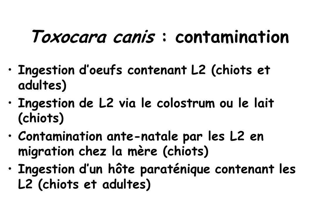 Toxocara canis : contamination Ingestion d'oeufs contenant L2 (chiots et adultes) Ingestion de L2 via le colostrum ou le lait (chiots) Contamination a