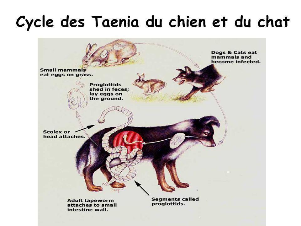 Cycle des Taenia du chien et du chat