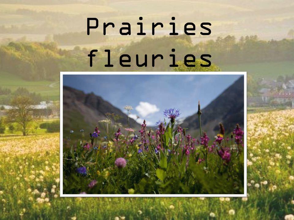 Définition La Prairie fleurie est le nom donné à un milieu ou paysage de type prairial, mais particulièrement riche en fleurs, qu on cherche parfois à reproduire pour des raisons écologiques ou décoratives