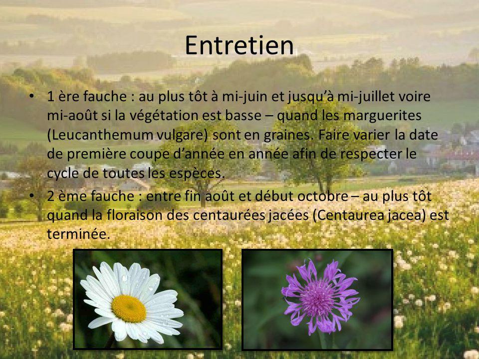 Entretien 1 ère fauche : au plus tôt à mi-juin et jusqu'à mi-juillet voire mi-août si la végétation est basse – quand les marguerites (Leucanthemum vu
