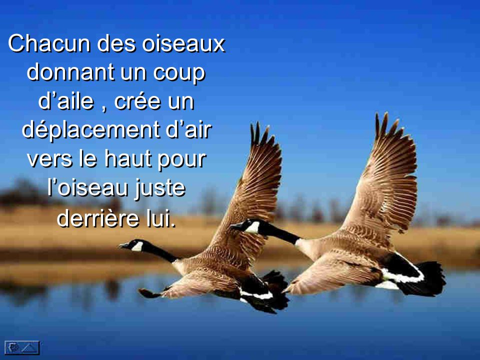 Chacun des oiseaux donnant un coup d'aile, crée un déplacement d'air vers le haut pour l'oiseau juste derrière lui.