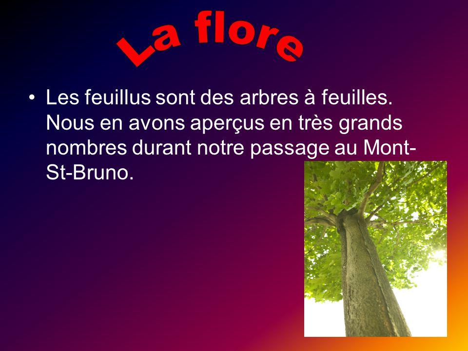 Les feuillus sont des arbres à feuilles. Nous en avons aperçus en très grands nombres durant notre passage au Mont- St-Bruno.