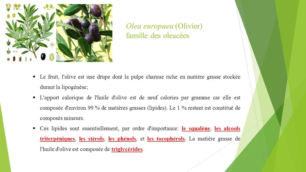  Le fruit, l'olive est une drupe dont la pulpe charnue riche en matière grasse stockée durant la lipogénèse;  L'apport calorique de l'huile d'olive