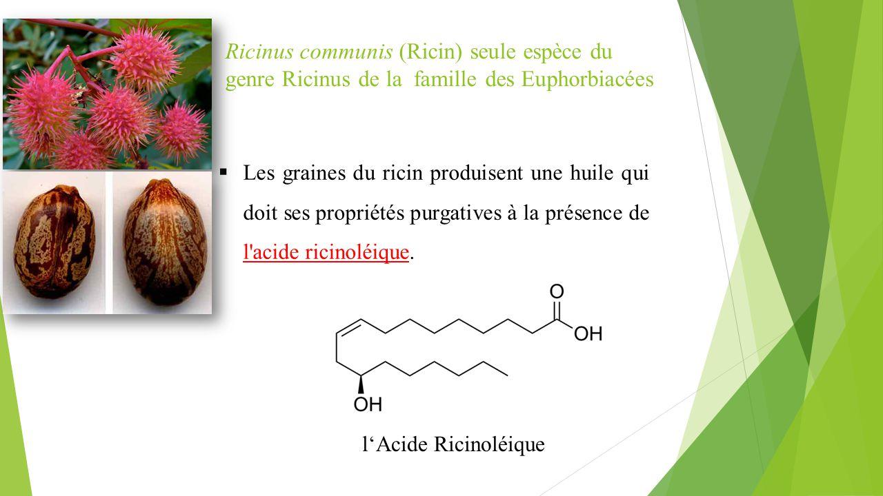  Les graines du ricin produisent une huile qui doit ses propriétés purgatives à la présence de l'acide ricinoléique. Ricinus communis (Ricin) seule e